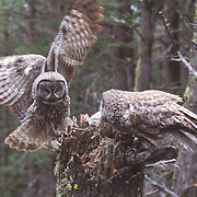 Great Gray Owl, (Strix nebulosa)  Male brings vole to female nesting with chicks. Montana.