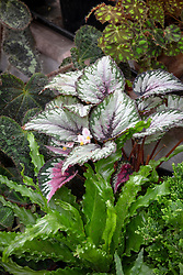 Begonia rex and ferns growing in a conservatory - Painted-leaf begonia, King begonia, Fan plant