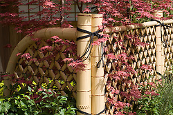 Lattice bamboo fence with red acer