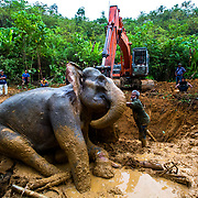 """The team from Vesswic, FKL rangers, BKSDA, and WCS worked tirelessly doing everything they could to get Daisy to stand, the following day, 28th after some negotiations, the team manage to get an excavator to the site, extreme as it may sound, we needed to get the elephant into a better position said Chief veterinarian Anha lubis. @vesswic """"For an elephant laying in its side, puts all kinds on pressures on their internal organs"""". The excavator moved closer to the elephant, even with all the noise she didn't budge, it was really our last chance to try to improve the situation. After digging a trench, the digger, pushes her into a standing position, this allowed the blood to flow into her legs properly, but unfortunately every time we got her into an upright position she fell back into the same position, on the same side.<br /> At this stage I question the teams motives, are we just prolonging her imminent death. Does she just want to die in peace?<br /> My camera, is the only thing, between me and Daisy, I lock the focus, then suddenly I'm overwhelmed with sadness, as I see her left front leg, the snare wound, is deep, maybe a third of the way though her foot, the pain from this alone must be overbearing. The JCB, pushing her, these machines, represent so much destruction to me, clearing so much forest on a daily basis. Just over the hill, behind her, 1000's of hectares of palm oil plantations. The Leuser Ecosystem is in retreat! Tropical lowland forest are still being cleared.. She stands for one last time, then slowly slipping back to her original position. Then sometime this morning she passed away, in peace. Please keep sending funds as we have so much more to do, with 3 more elephant, patrol teams needed desperately. Link in my bio. """"I will not forget"""" @wildlifeasia @racingextinction @istandwithmypack @bksdaaceh @haka_sumatra @rainforestactionnetwork @leonardodicaprio @leonardodicapriofdn #lovetheleuser #cutconflictpalmoil #forgottenelephants"""