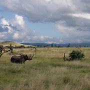 Black rhinoceros (Diceros bicornis) in Masai Mara National Reserve, Kenya, Africa.