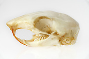 Eastern Chipmunk skull