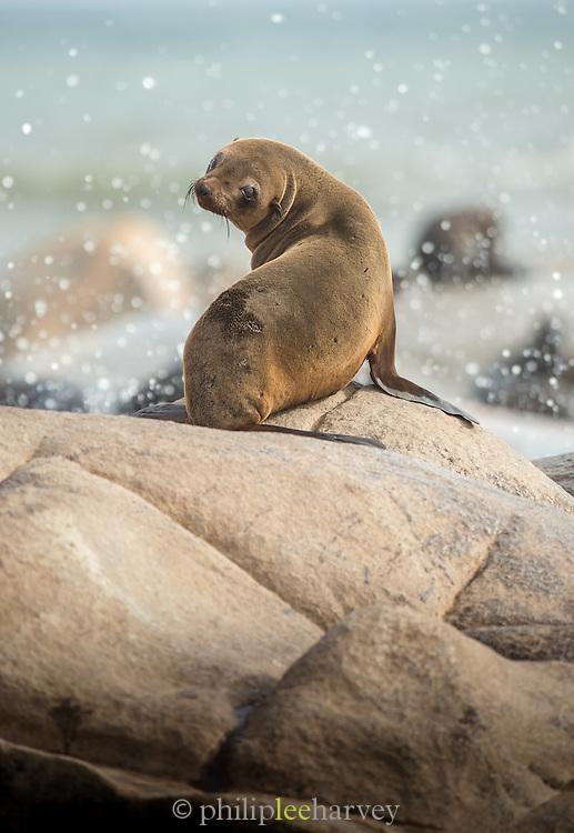 Cape Fur Seal, Mowe Bay, Skeleton Coast, Northern Namibia, Southern Africa