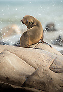 Cape Fur Seal, Mowe Bay, Skeleton Coast, Northern Namibia, Southern Africa