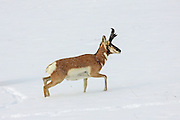 Buck Pronghorn antelope in winter habitat.