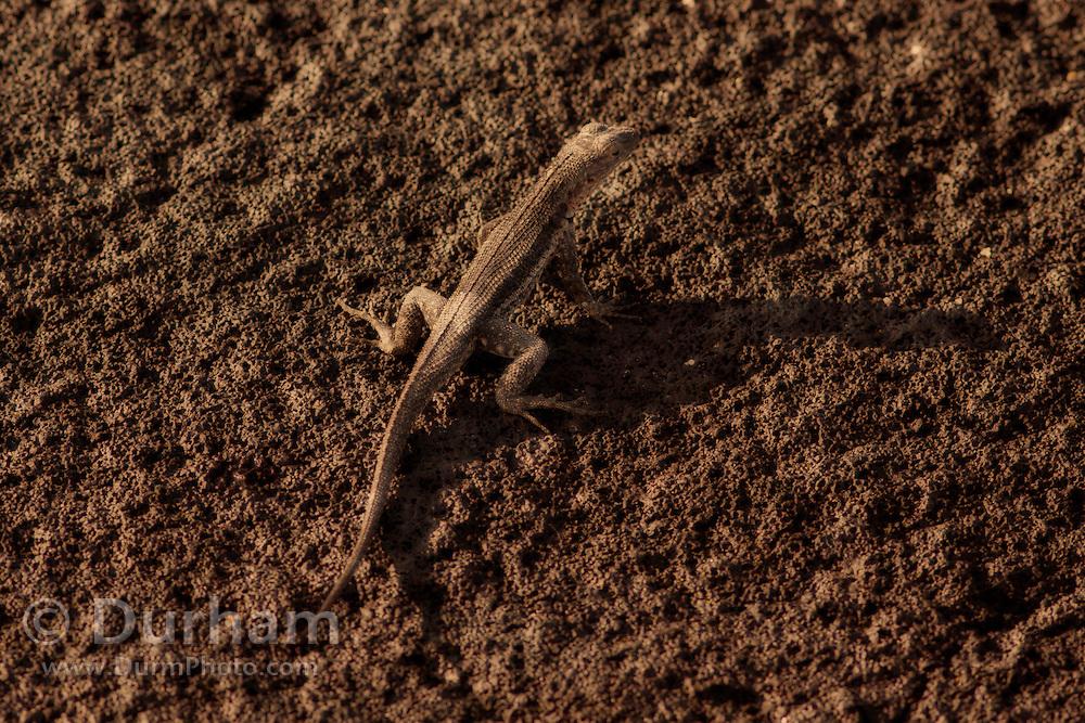Galapagos Lava Lizard ( Microlophus albemarlensis), Fernandina Island, Galapagos Archipelago - Ecuador.