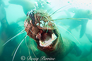 threat display by Steller's sea lion, or Steller sea lion, or northern sea lion, Eumetopias jubatus, blowing bubbles with mouth open and teeth bared (an Endangered Species in the western part of its range, and Threatened in the eastern portion), Glacier Island, Columbia Bay, Alaska ( Prince William Sound )