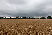 Unharvested wheat field under darkening skies at in Olney, United Kingdom. Golden colour, these ripe heads of grain, which is also known as corn, are a crop ready to be harvested. Wheat is a cereal grain cultivated worldwide. In 2013, world production of wheat was 713 million tons, making it the third most-produced cereal.