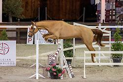 005, Super Star van't Keikelhof<br /> BWP Hengstenkeuring 2021<br /> © Hippo Foto - Dirk Caremans<br />  12/01/2021