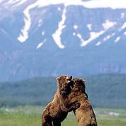 Alaskan Brown Bear, (Ursus middendorffi) Two males fighting. Alaskan Peninsula.