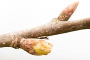 Chalcid gall wasp on oak (Quercus sp.). Surrey, UK.