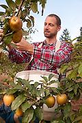 James Kohn, co-owner of Wandering Aengus Cidery in Portland, Oregon, harvests cider apples.