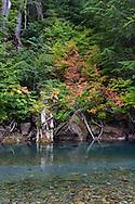 Vine Maple (Acer circinatum) fall colors along the Ohanapecosh River at the Grove of the Patriarchs - Mount Rainier National Park, Washington State, USA