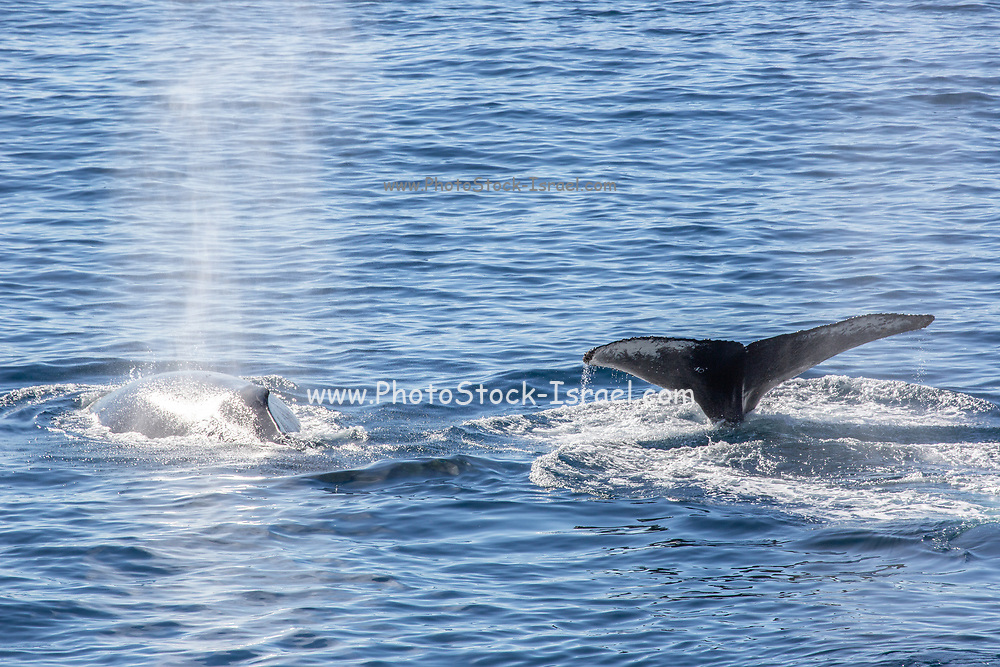 Antarctic minke whale (Balaenoptera bonaerensis). This whale is found in the Southern hemisphere, spending the winter in tropical waters and migrating to cooler polar oceans for the rest of the year. Photographed in Paradise Bay, Antarctica.