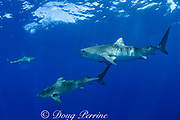 tiger sharks ( Galeocerdo cuvier ) North Shore, Oahu, Hawaii, USA ( Central Pacific Ocean )