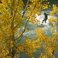 Terry Wallace (MR) surfs on river waves under fall-colored aspens beside  Kananaskis River, Kananskis Provincial Park, near Banff and Calgary, Alberta, Canada