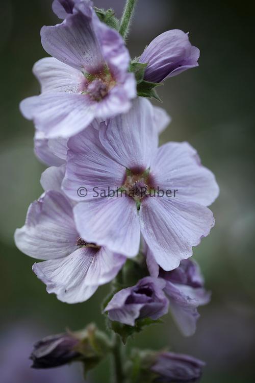 Lavatera x clementii 'Lavender Lady' - tree mallow