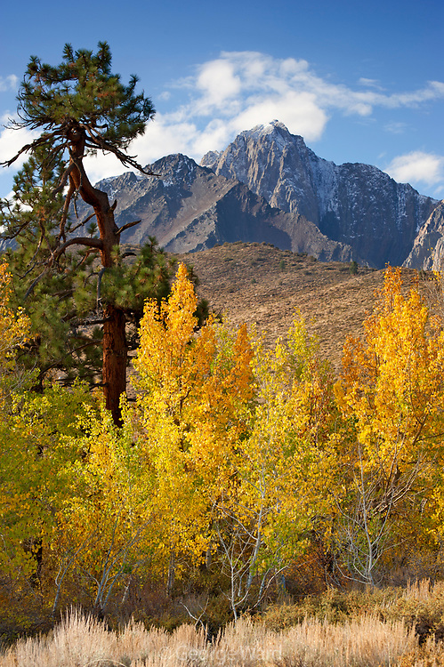Aspen, Jeffrey Pine and Mount Morrison, Eastern Sierra Nevada, Inyo National forest, California