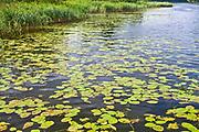 Rzeka Netta - nenufary, Polska<br /> Netta river - yellow water lilies, Poland