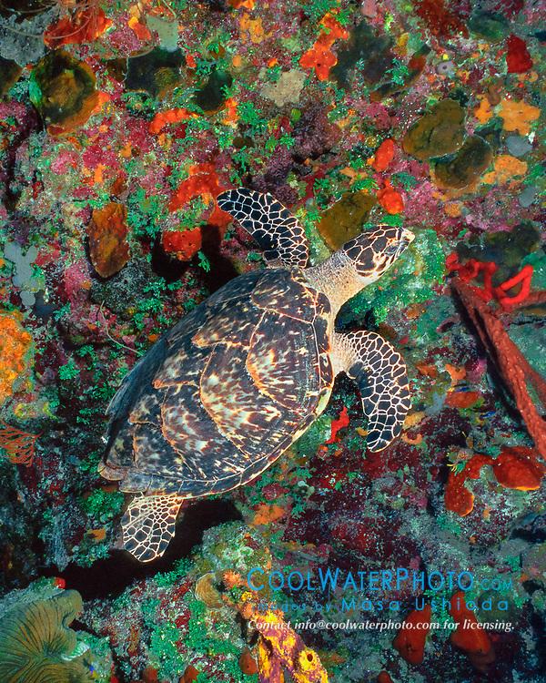 hawksbill sea turtle, Eretmochelys imbricata, Bloody Bay Wall, Little Cayman, Cayman Islands, Caribbean Sea, Atlantic Ocean