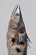 """Humorous photograph of a Norwegian Mackerel with holes drilled in it visually depicting the saying """"Holey mackerel!"""""""