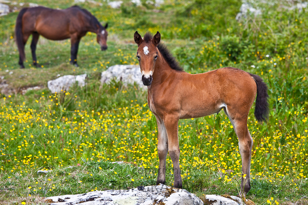 Connemara pony mare and foal in buttercup meadow, Connemara, County Galway, Ireland