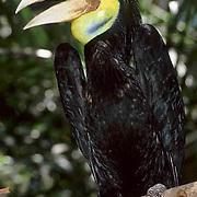 Wreathed Hornbill, (Rhyticeros undulatus) Immature in trees of bird park at Kuala Lumpur. Malaysia.  Captive Animal.