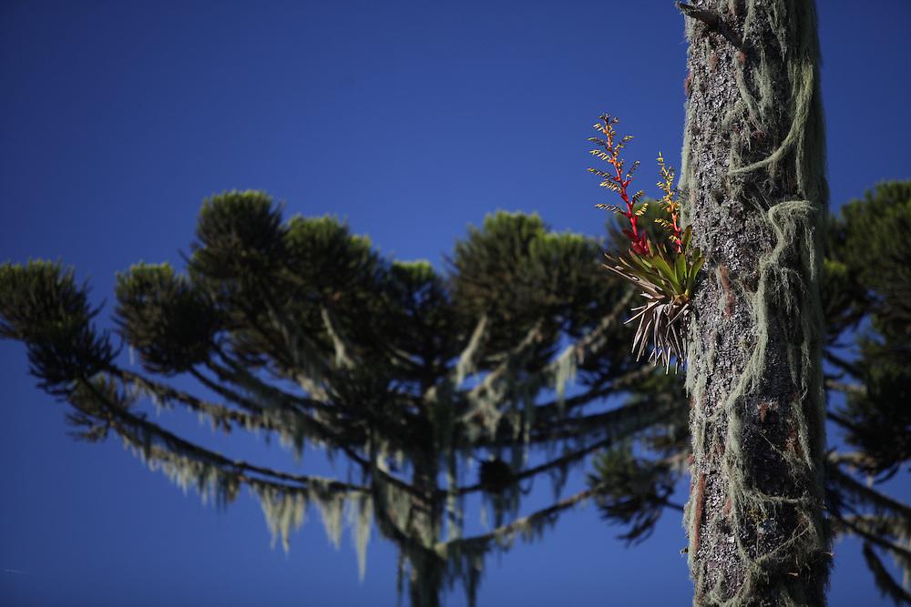 Cambara do Sul_RS, Brasil.<br /> <br /> Bromelia em Mata de Araucaria em Cambara do Sul.<br /> <br /> bromeliad in Parana pine in Cambara do Sul.<br /> <br /> Foto: JOAO MARCOS ROSA / NITRO