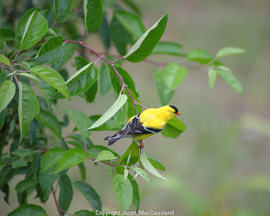 A vivid yellow and black male American Goldfinch (Spinus tristis) hangs in a Cherry tree. Goldfinches undergo a complete molt, becoming a drab, olive and black in the winter.