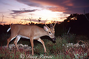 Key deer ( endangered subspecies), Odocoileus virginianus clavium, at sunset, Big Pine Key, Florida Keys, Florida, USA