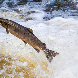 Salmon and trout leap in the River Carron, October 2020.