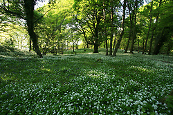 July 21, 2019 - Wild Garlic Blooming, Killarney National Park, County Kerry, Ireland (Credit Image: © Peter Zoeller/Design Pics via ZUMA Wire)