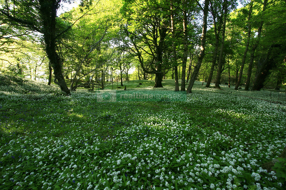 July 21, 2019 - Wild Garlic Blooming, Killarney National Park, County Kerry, Ireland (Credit Image: © Peter Zoeller/Design Pics via ZUMA Wire)