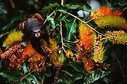 Saddleback Tamarin in Canopy<br />Saguinus fuscicoliis<br />Madre de Dios, Amazon Rain Forest, PERU  South America<br />RANGE:  East of Andes in Colombia, Ecuador, Peru, Bolivia, Upper Amazon Basin of Brazil.