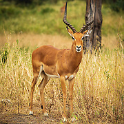 Graceful and quick the impala is able to leap distances of up to 10m / 33 feet and run up to 80km/h to help get away from predators. They are diurnal, which means they are most active in the early morning and right before sunset - another reason to start those game-drives early.