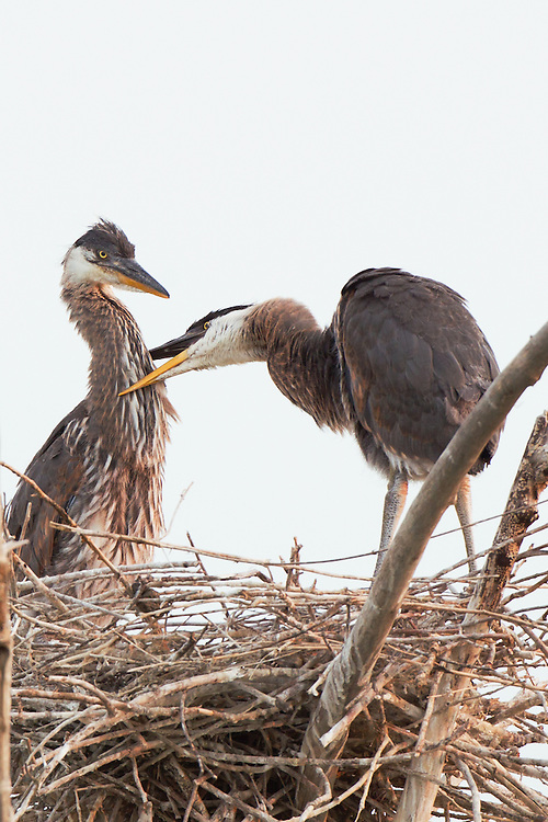 Stock photo of a great blue heron chick in nest.  The nest, made up of sticks twigs, can measure up to 4 feet in diameter over the years.