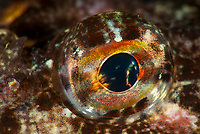 Close up of an eye of the Longspined bullhead, Taurulus bubalis, also known as the longspined sea-scorpion. Hamn, Senja, Norway