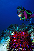 diver and crown of thorns sea star ( starfish ), Acanthaster planci, and diver, Similan Islands, Thailand ( Indian Ocean - Andaman Sea ) MR 226