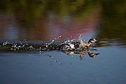 Aquidauana_MS, Brasil...Ave em um rio na fazenda Rio Negro no Pantanal...A bird in a river in Rio Negro farm in Pantanal...Foto: JOAO MARCOS ROSA / NITRO