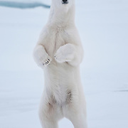 A female polar bear makes her way over to the icebreaker Polar Sea to investigate. Arctic Ocean