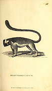 Heart-Marked Lemur from General zoology, or, Systematic natural history Part I, by Shaw, George, 1751-1813; Stephens, James Francis, 1792-1853; Heath, Charles, 1785-1848, engraver; Griffith, Mrs., engraver; Chappelow. Copperplate Printed in London in 1800. Probably the artists never saw a live specimen