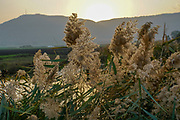 flowering Cane closeup with pastel coloured background at sunset