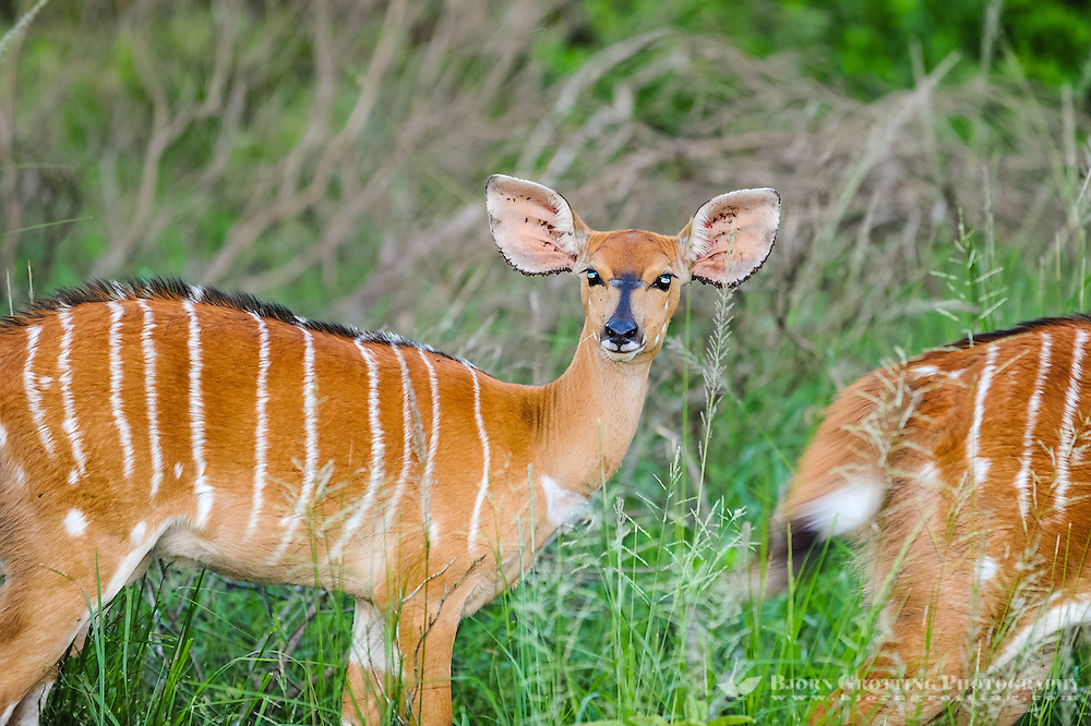 The Nyala is an Antelope. Nyala females at Emdoneni Game Reserve, South Africa.