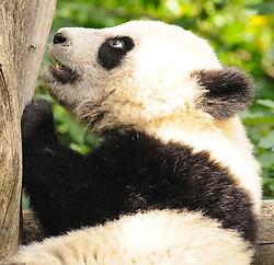 08.06.2011,Tiergarten Schoennbrunn, Wien, AUT, Chronik, im Bild Pandajunges Fu Hu // panda cup Fu Hu, chronicle, AUT, Vienna, zoological garden Schoennbrunn, 2011-08-06, EXPA Pictures © 2011, PhotoCredit: EXPA/ M. Gruber