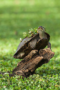 Savannah Side-necked Turtle (Podocnemis vogli) sunbathing.<br /> CITES II  due to habitat loss mainly near urban areas and over hunting especially in the Llanos.<br /> Hato Masaguarel working farm and biological station, Guárico Province, VENEZUELA. South America.<br /> L average 23-36cm, Wgt 2kg. Females larger than males. They dig shallow nests in sandy soil, often far from nearest water source.  7-13 eliptical eggs 40x25mm in size.<br /> They are diurnal spending sunny morning out on logs and nights in the water semi submerged in mud. They are omnivorous, consuming seeds, leaves, aquatic plants, fish, insects & suspended material in water.<br /> HABITAT: Lagoons, swamps, Moriche palm swamps, generally not preferring larger rivers.<br /> RANGE: Llanos & Orinoco of Colombia, Venezuela.<br /> The Llanos are flood plains stretching north of the Orinoco River to the Andean foothills, covering 300,000sq km in Venezuela and another 220,000 sq km in Colombia. This area has poor soil but is rich in its river systems which floods in the wet season leaving shallow marshes which nourish a high concentration of birds and animals.