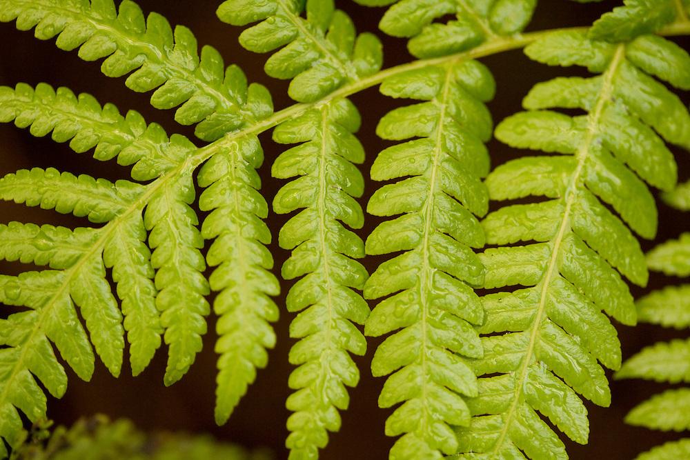 ferns in Tantalus rainforest