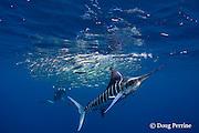 Marc Montocchio photographs striped marlin, Kajikia audax (formerly Tetrapturus audax ), feeding on baitball of sardines or pilchards, Sardinops sagax, off Baja California, Mexico ( Eastern Pacific Ocean ); MR 411