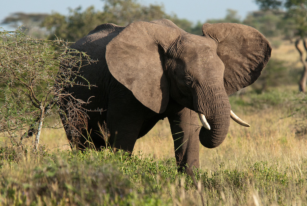 Big elephant with spread ears