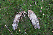 Only the wings as remains of a Sparrowhawk, which was hunted by some other creature. Just feathers and a few bones in tact. Isle fo Wight, UK.