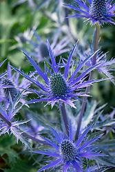 Eryngium 'Pen Blue' - Sea holly